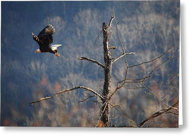 Boxley Valley Greeting Cards - Bald Eagle at Boxley Mill Pond Greeting Card by Michael Dougherty