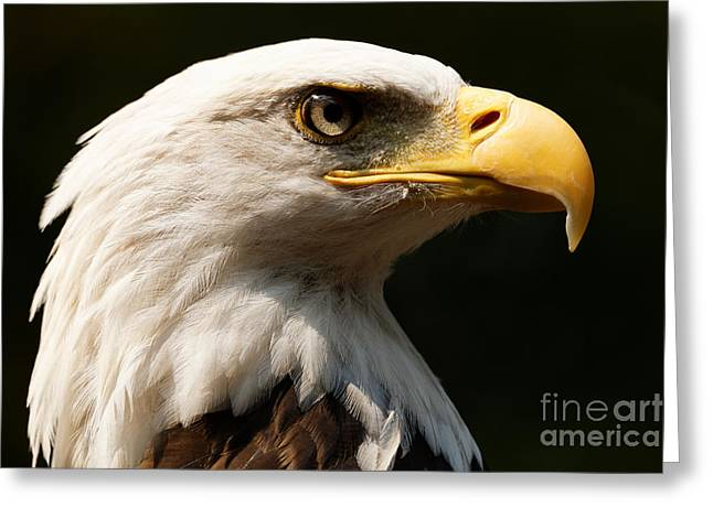 Bald Eagle Delight Greeting Card