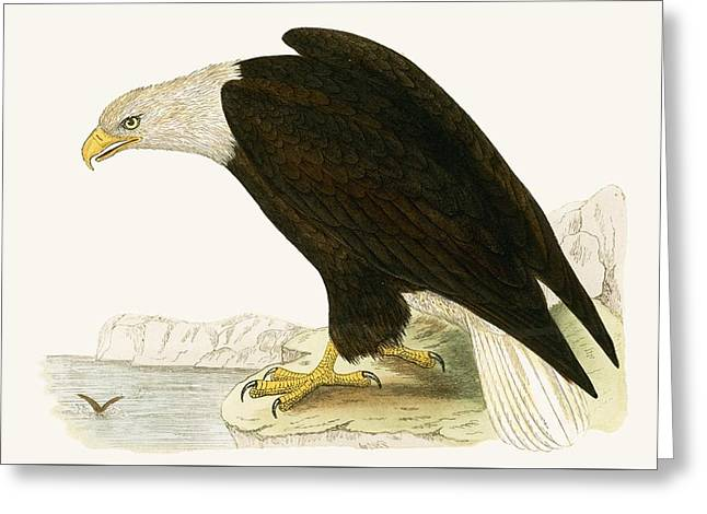 Bald Eagle Greeting Card by English School