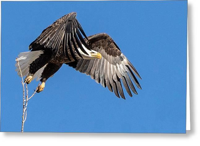 Bald Eagle Flight 3 Greeting Card