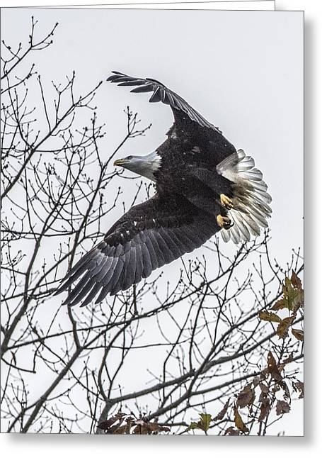 Bald Eagle Flying Greeting Card