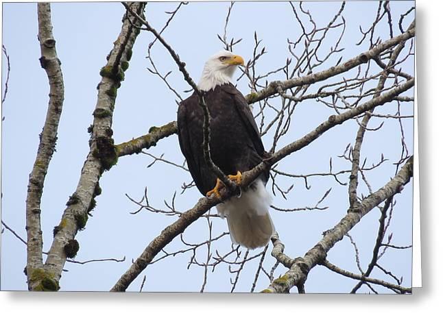 Bald Eagle Greeting Card