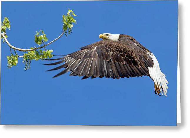 Bald Eagle In Flight 4-25-17 Greeting Card