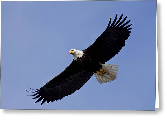Bald Eagle In Flight Greeting Card by John Hyde - Printscapes