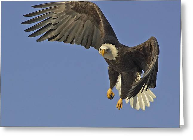 Bald Eagle In Flight  Greeting Card by Tim Grams