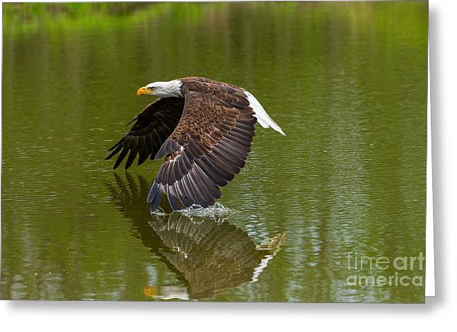 Bald Eagle In Low Flight Over A Lake Greeting Card