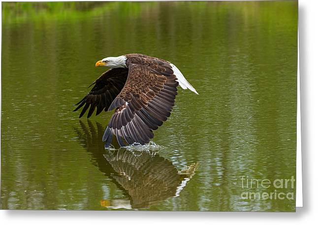 Bald Eagle In Low Flight Over A Lake Greeting Card by Les Palenik