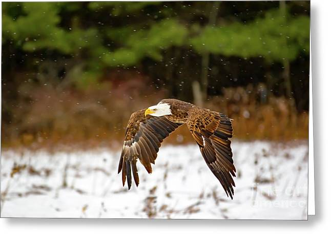 Bald Eagle In Snowstorm Greeting Card
