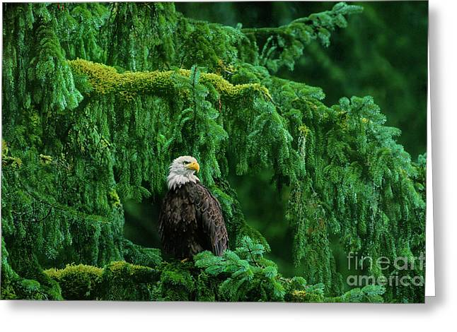 Bald Eagle In Temperate Rainforest Alaska Endangered Species Greeting Card