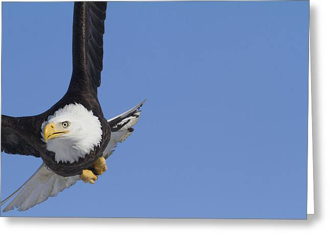 Bald Eagle In The Skies Over Portage Greeting Card by Doug Lindstrand