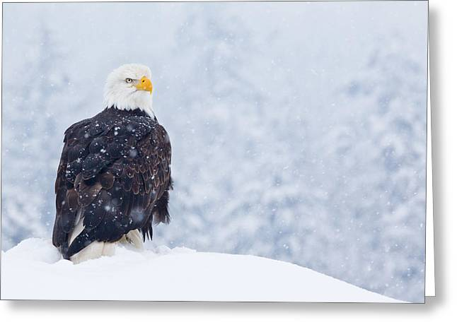 Bald Eagle In The Snow Greeting Card by Brandon Broderick