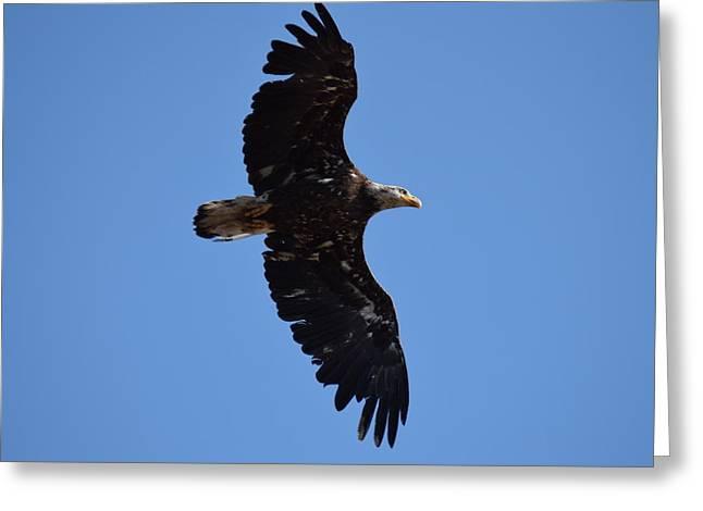 Bald Eagle Juvenile Soaring Greeting Card
