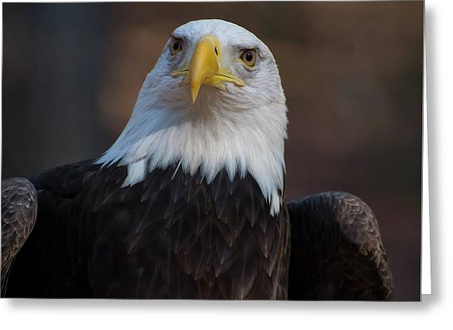 Bald Eagle Looking Right Greeting Card