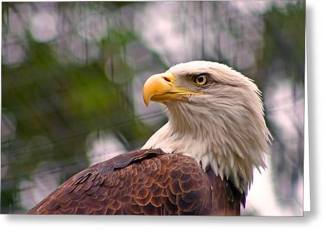 Bald Eagle Majestic Greeting Card