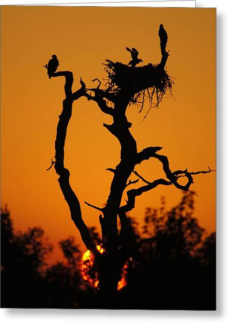 Greeting Card featuring the photograph Bald Eagle Nestling At Sunset by Lynda Dawson-Youngclaus