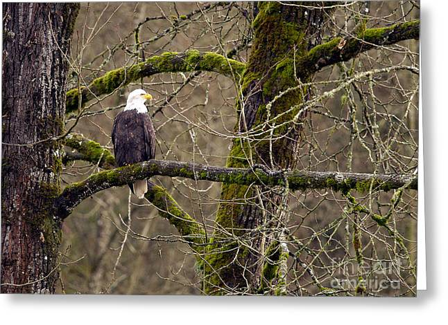 Bald Eagle On Mossy Branch Greeting Card by Sharon Talson