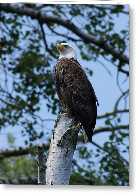 Greeting Card featuring the photograph Bald Eagle On The Brule by Ron Read