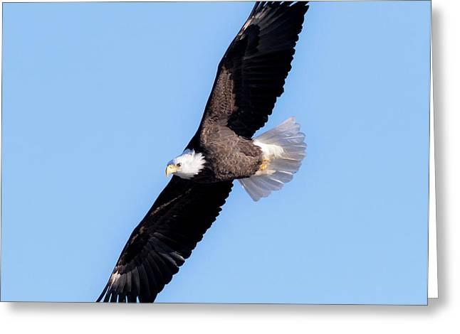 Bald Eagle Overhead  Greeting Card