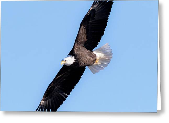 Bald Eagle Overhead  Greeting Card by Ricky L Jones