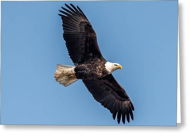 Bald Eagle Greeting Card by Paul Freidlund