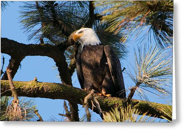 Bald Eagle Perch Greeting Card