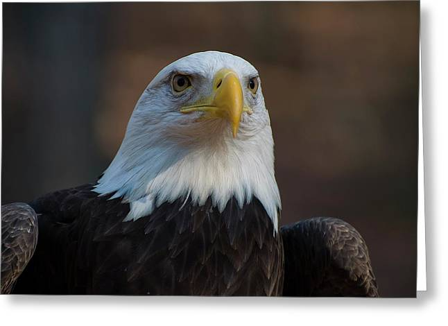 Bald Eagle Perched Greeting Card
