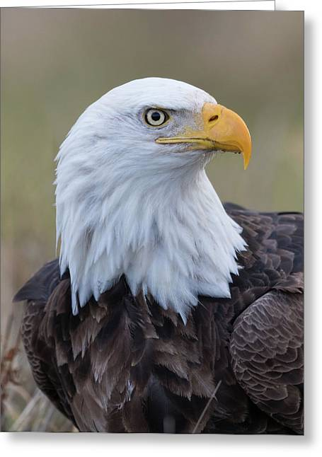 Greeting Card featuring the photograph Bald Eagle Portrait 2 by Angie Vogel