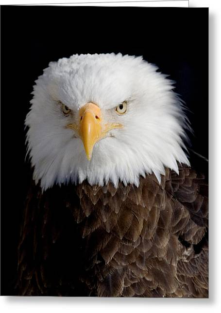 Bald Eagle Portrait Greeting Card by Laurie With
