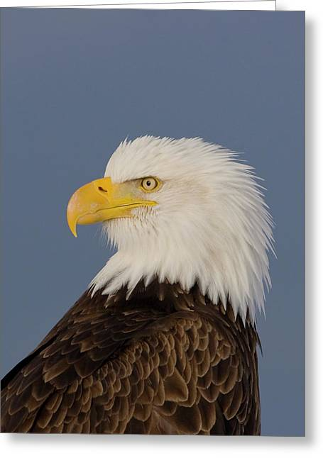 Bald Eagle Portrait Greeting Card