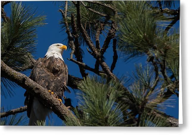Bald Eagle Resting Greeting Card