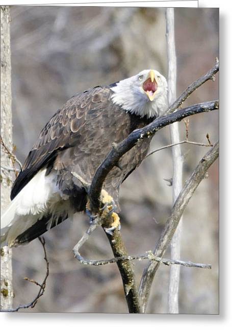 Bald Eagle Screeching Greeting Card by Clarence Alford