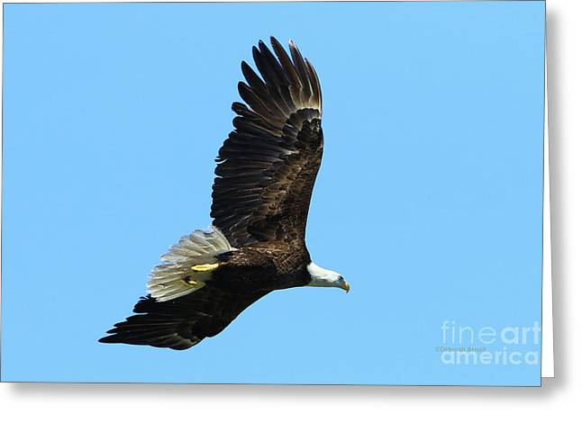 Greeting Card featuring the photograph Bald Eagle Series IIi by Deborah Benoit