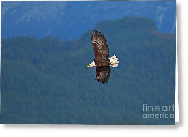 Greeting Card featuring the photograph Bald Eagle Soaring  by Sharon Talson