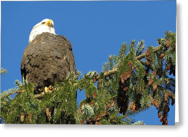 Bald Eagle Sunbathing Greeting Card