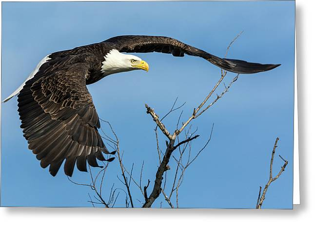 Bald Eagle Swoosh Greeting Card