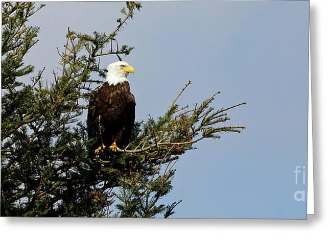 Bald Eagle - Taking A Break Greeting Card