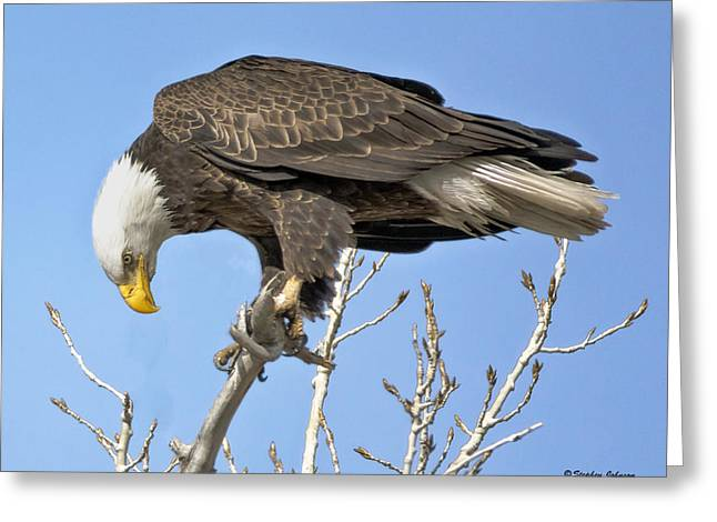 Bald Eagle Watching A Magpie Greeting Card by Stephen  Johnson