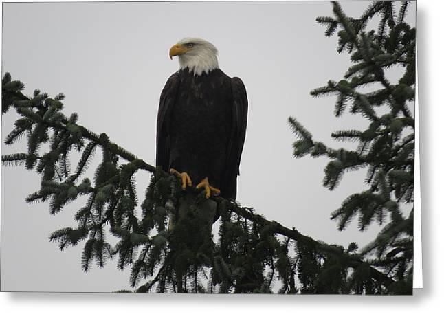 Bald Eagle Watching Greeting Card
