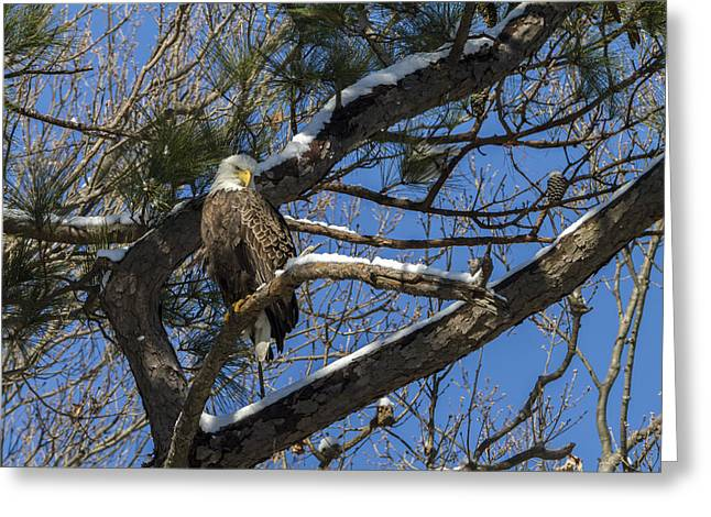 Bald Eagle Watching Her Domain Greeting Card