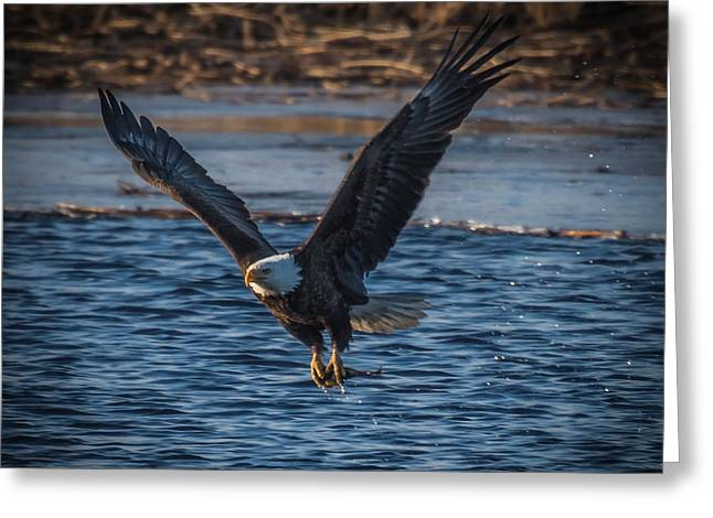 Bald Eagle With Fish Greeting Card by Paul Freidlund