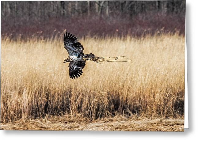 Bald Eagle With Nesting Material Greeting Card by Paul Freidlund