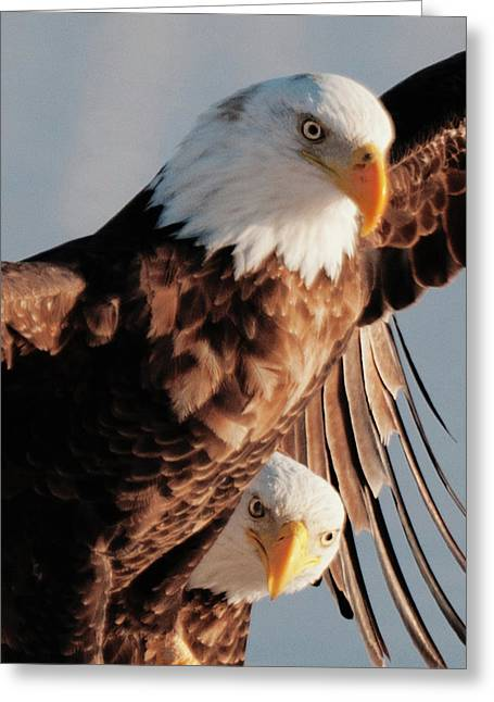 Bald Eagles Greeting Card