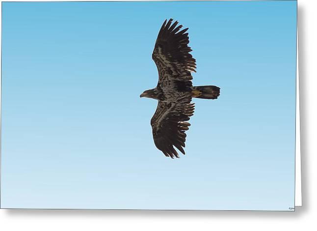 Bald Eaglet Greeting Card