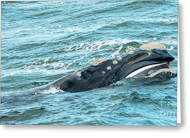 Baleen Whale Surfaces Greeting Card by Tim Hester