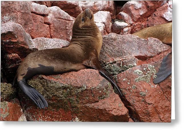 Greeting Card featuring the photograph Ballestas Island Fur Seals by Aidan Moran