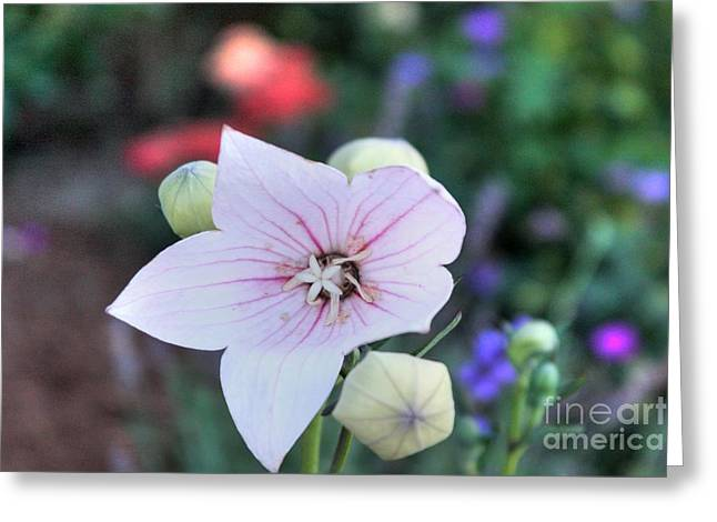 Balloon Flower Greeting Card by David Bearden