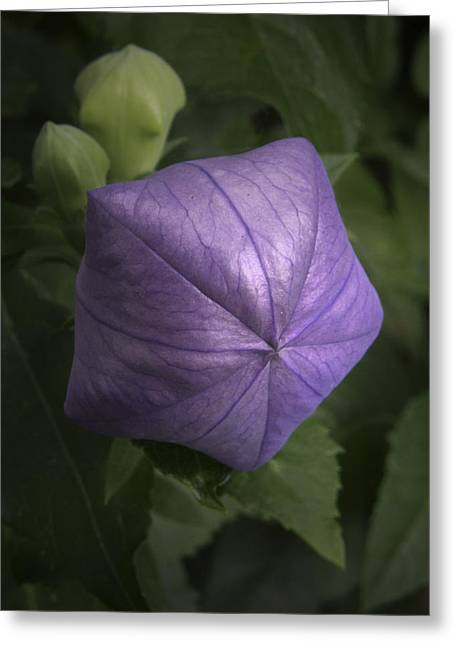 Balloon Flower Greeting Card by Nancy Griswold