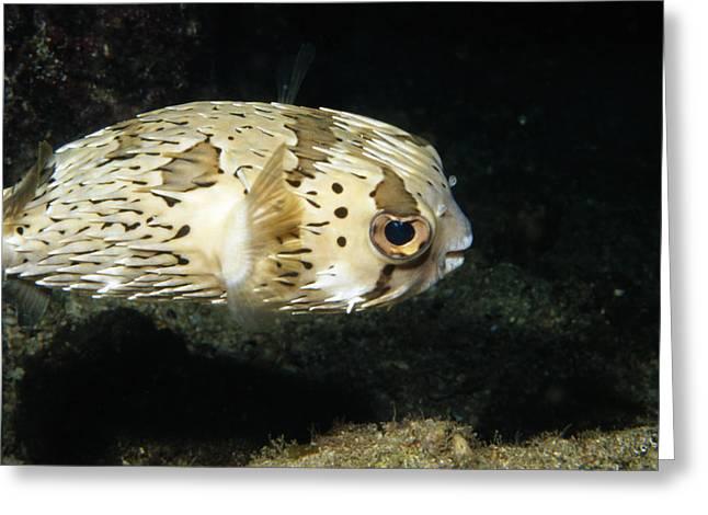 Balloonfish Profile Puffer Fish, Diodon Greeting Card