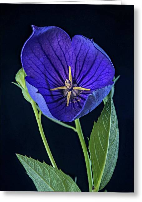 Baloon Flower In Early Morning Greeting Card by Douglas Barnett