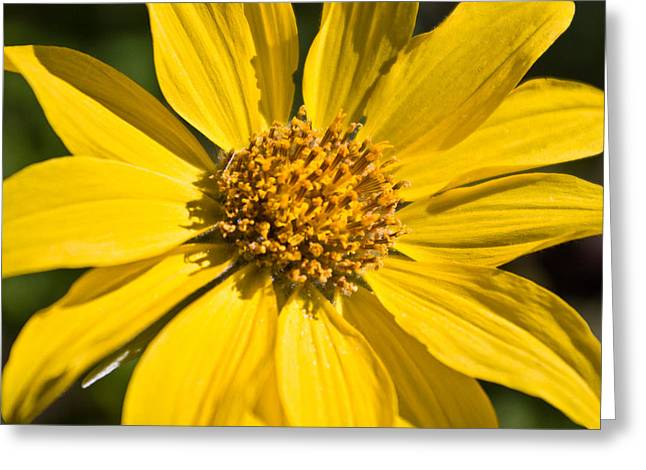 Balsamroot 2 Greeting Card